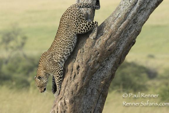 Decending Leopard-8153
