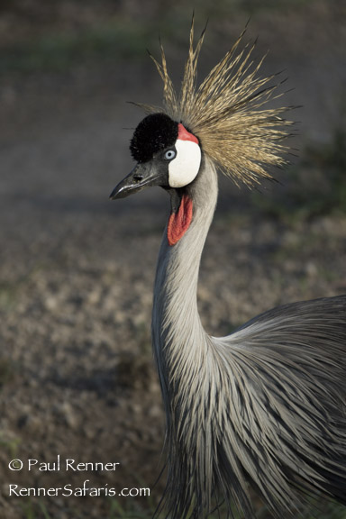 Grey Crowned Crane-5502