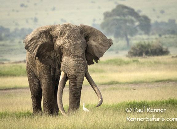 Huge Bull Elephant -7554