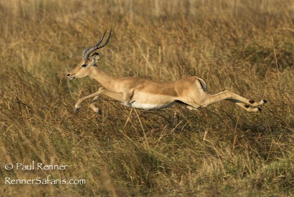 Leaping Male Impala-2155