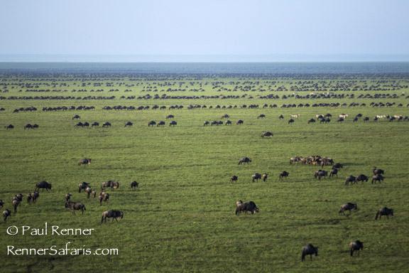 Lines of Wildebeest-6674
