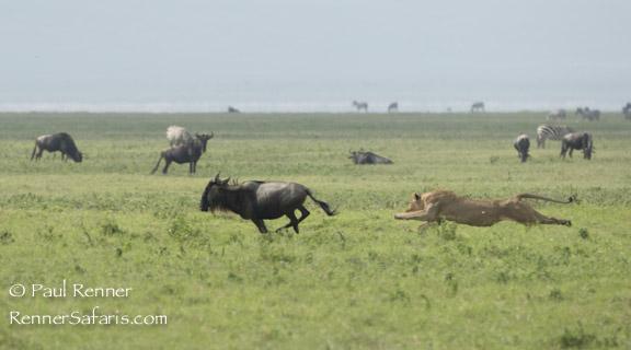Lion Chasing Wildebeest -7077