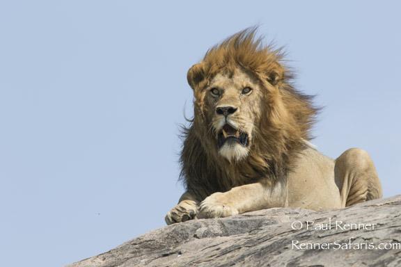 Lion on Granit Rock Kopje -1107