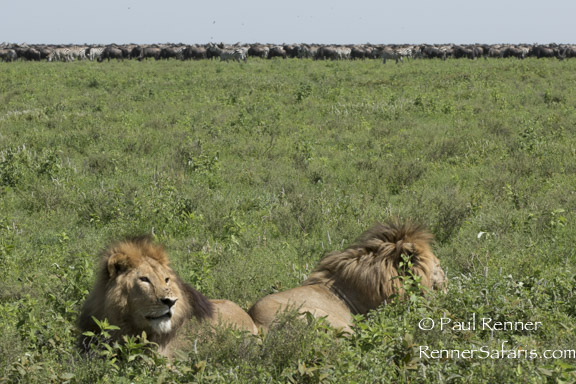 Lions and Migration-7047