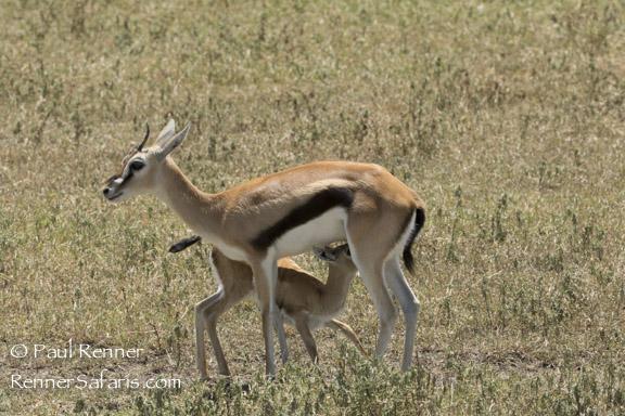 Thompson Gazelle Nursing-9989
