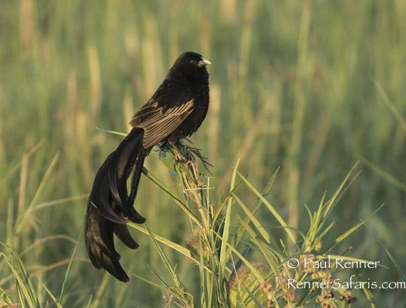 Widow Bird-