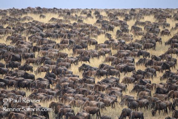 Wildebeest-6840