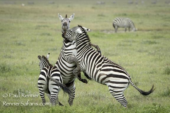 Zebra Stallions Fighting-0163