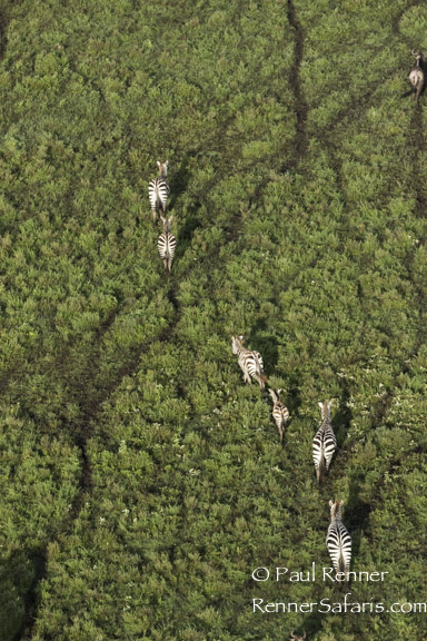 Zebras from Balloon-6747
