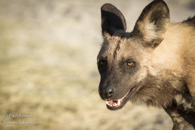 African Wild Dog-
