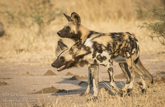 African Wild Dogs-7173