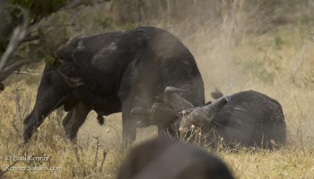 Buffalo Bulls Fighting-