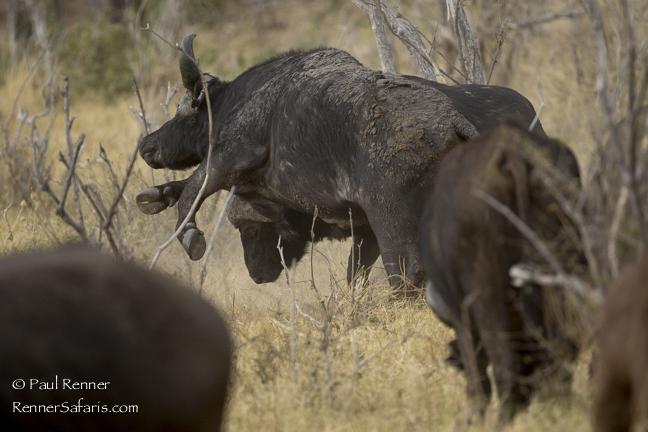 Buffalo Bulls Fighting--2