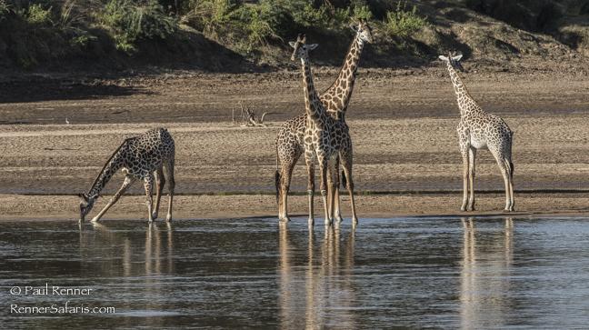 Giraffe at Luangwa River-7968