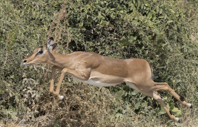 Impala Jumping-1280