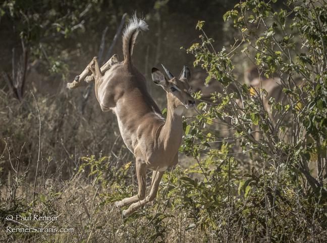 Impala Leaping-6202