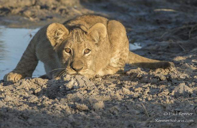 Lion Cub Stalking-3116