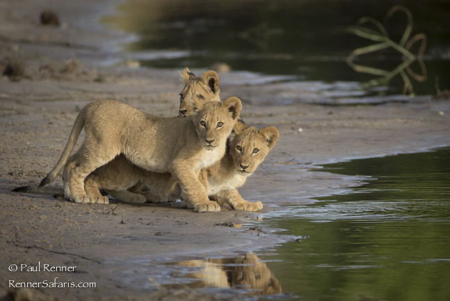 Lion Cubs at the River's Edge-5508