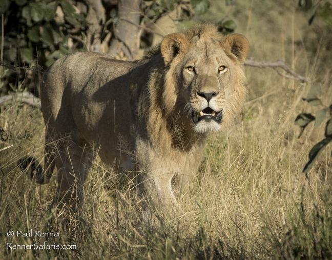 Male Lion Aproaching-2147