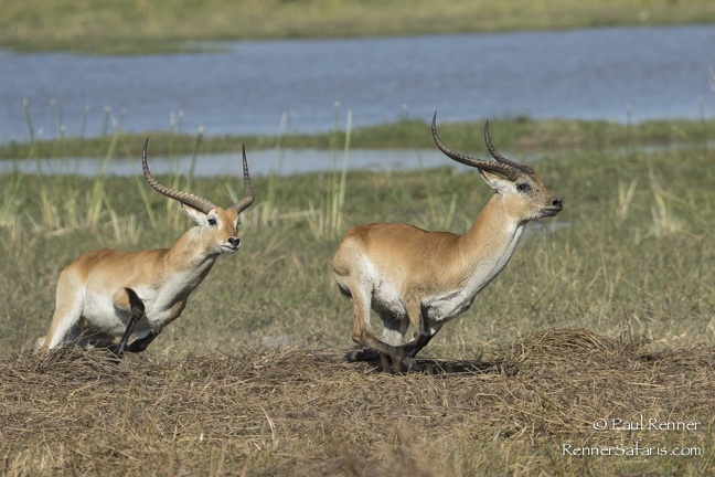 Red Lechwe Chasing Another Male-3915