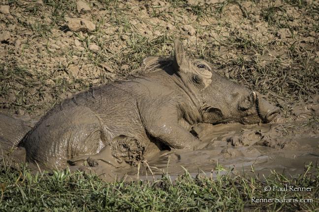Wart Hog Mud Bath-6975