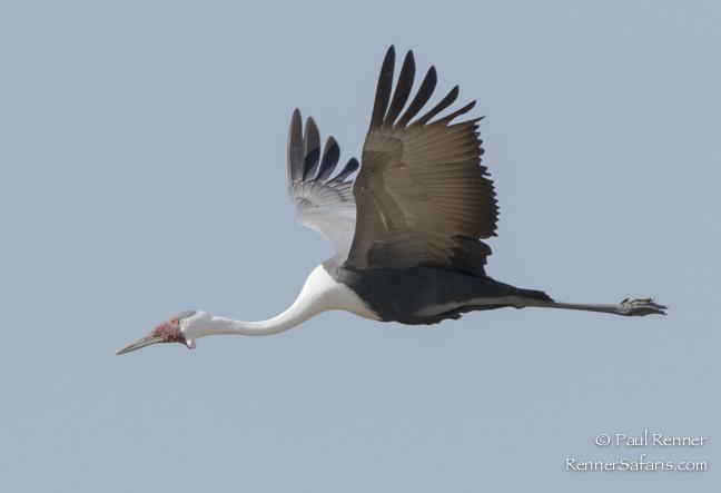Wattled Crane-3982