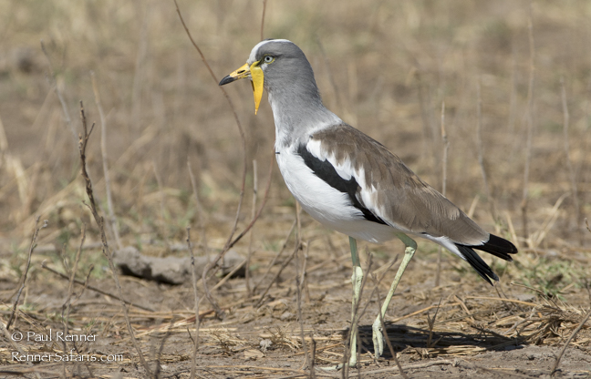 White Crowned Lapwing-6249