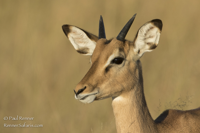 Young Impala Buck-2102