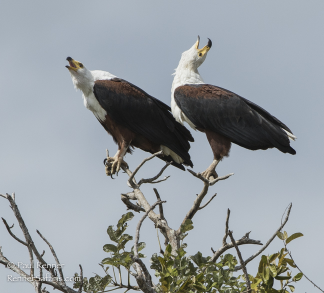 African Fish Eagles -2290