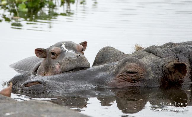 Baby Hippo-9596