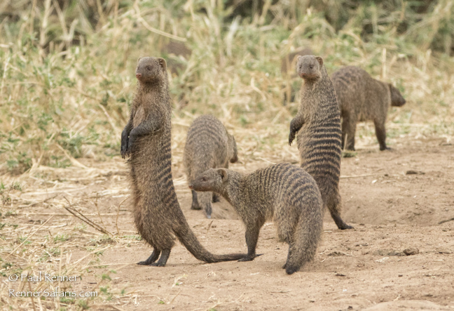 Banded Mongoose-8803