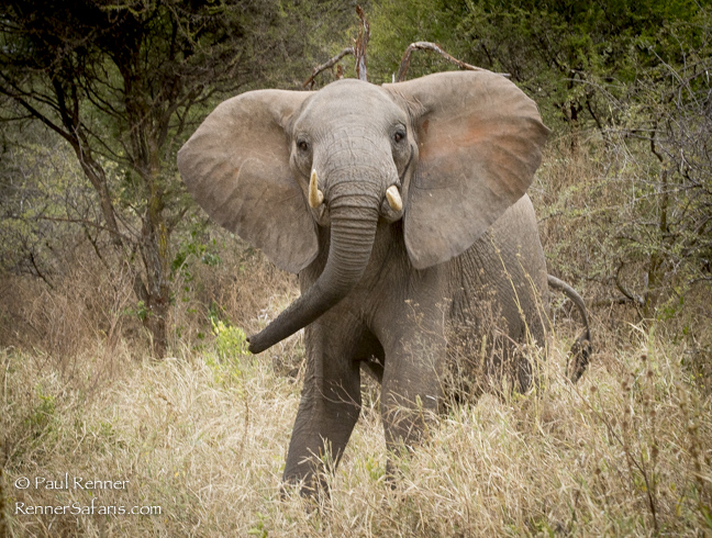 Elephant Challenging-2553