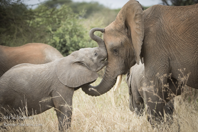 Elephants Showing Affection-9184