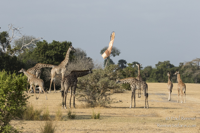 Giraffe Grazing by Windsock-1474