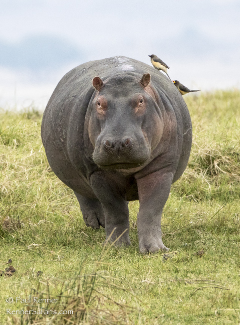 Hippo Looking-9653
