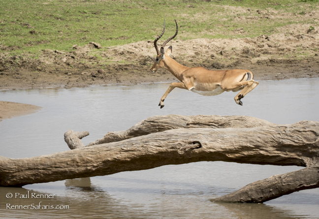 Impala Leaping Over Crocs in Water-