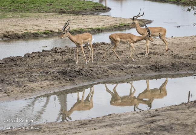 Impala Nervous About Crocs in Water-3368