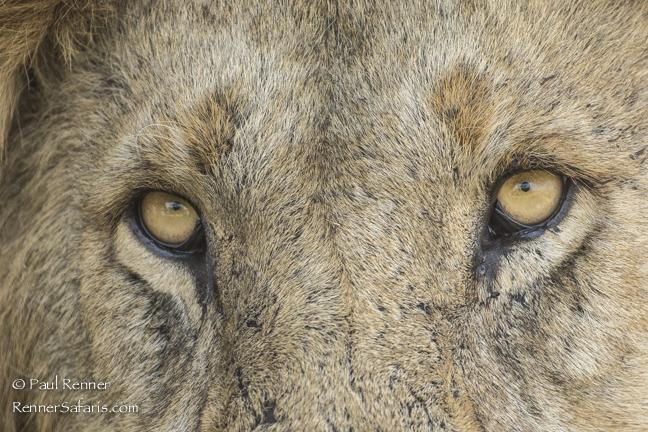 Lion Eyes-9952