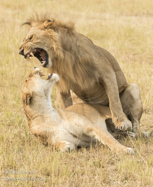 Lions Fighting After Mating-3135-2