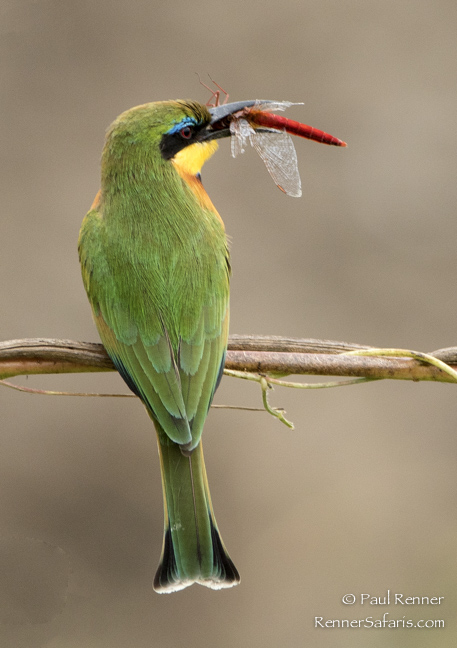Little Bee Eater with Dragonfly-