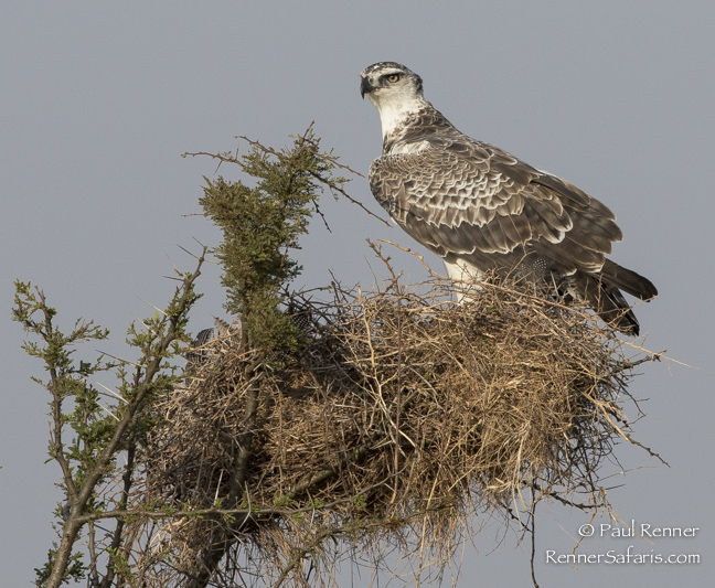 Martial Eagle at Nest-0504