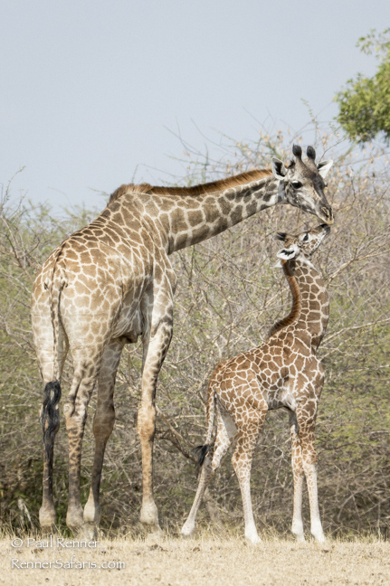 Mother and Baby Giraffe-1708