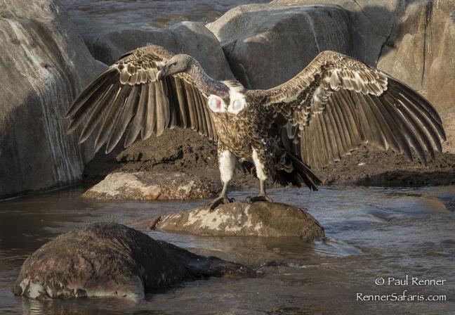 Rupell's Griffon Vulture-0245