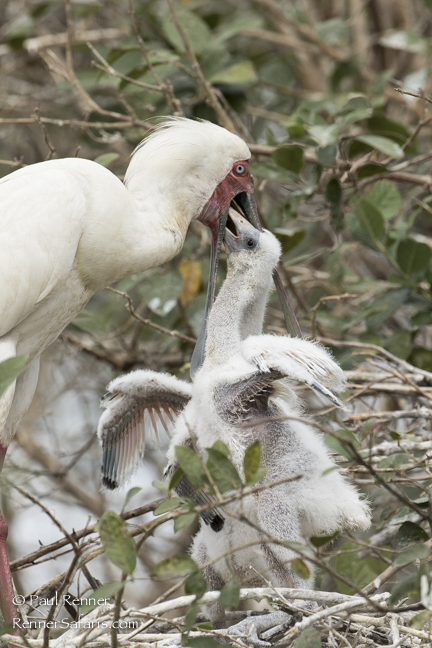 Spoonbill Feeding Chicks-2206