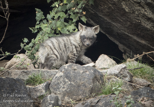 Striped Hyena Pup-0086