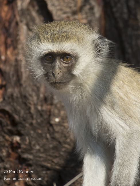 Vervet Monkey-0897