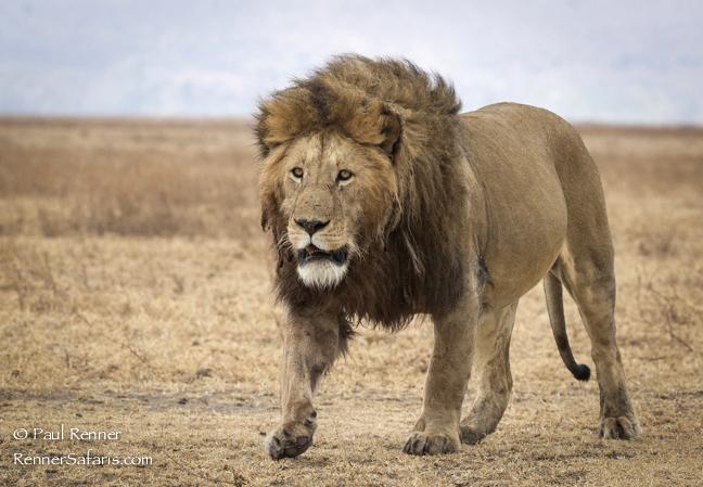 male-lion-4083
