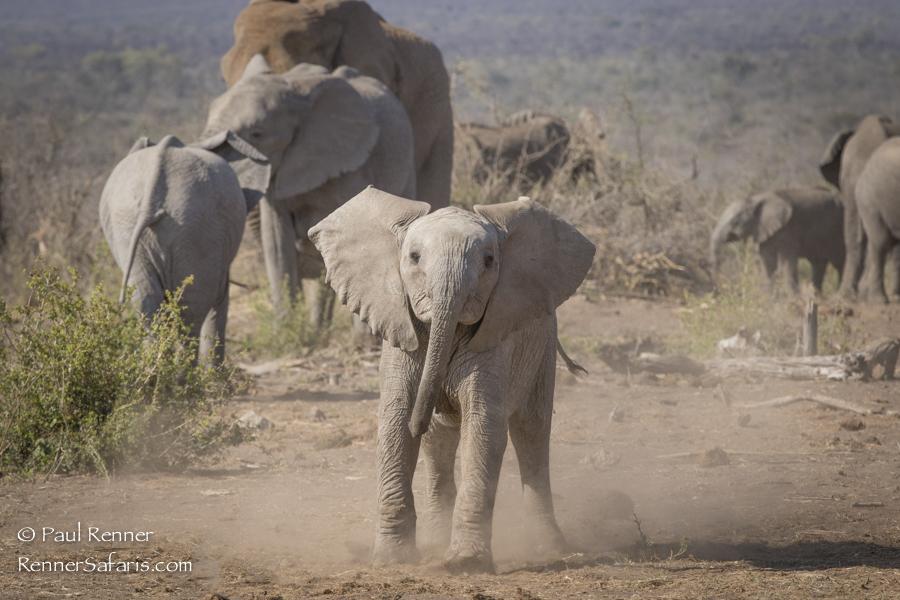 Baby Elephant Charge-