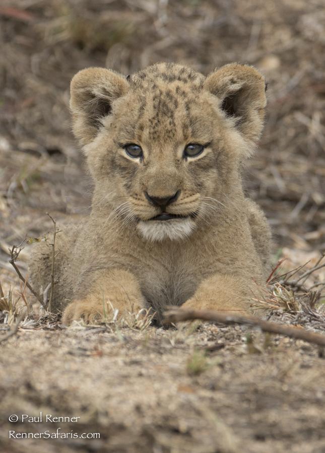 Tiny Cub-